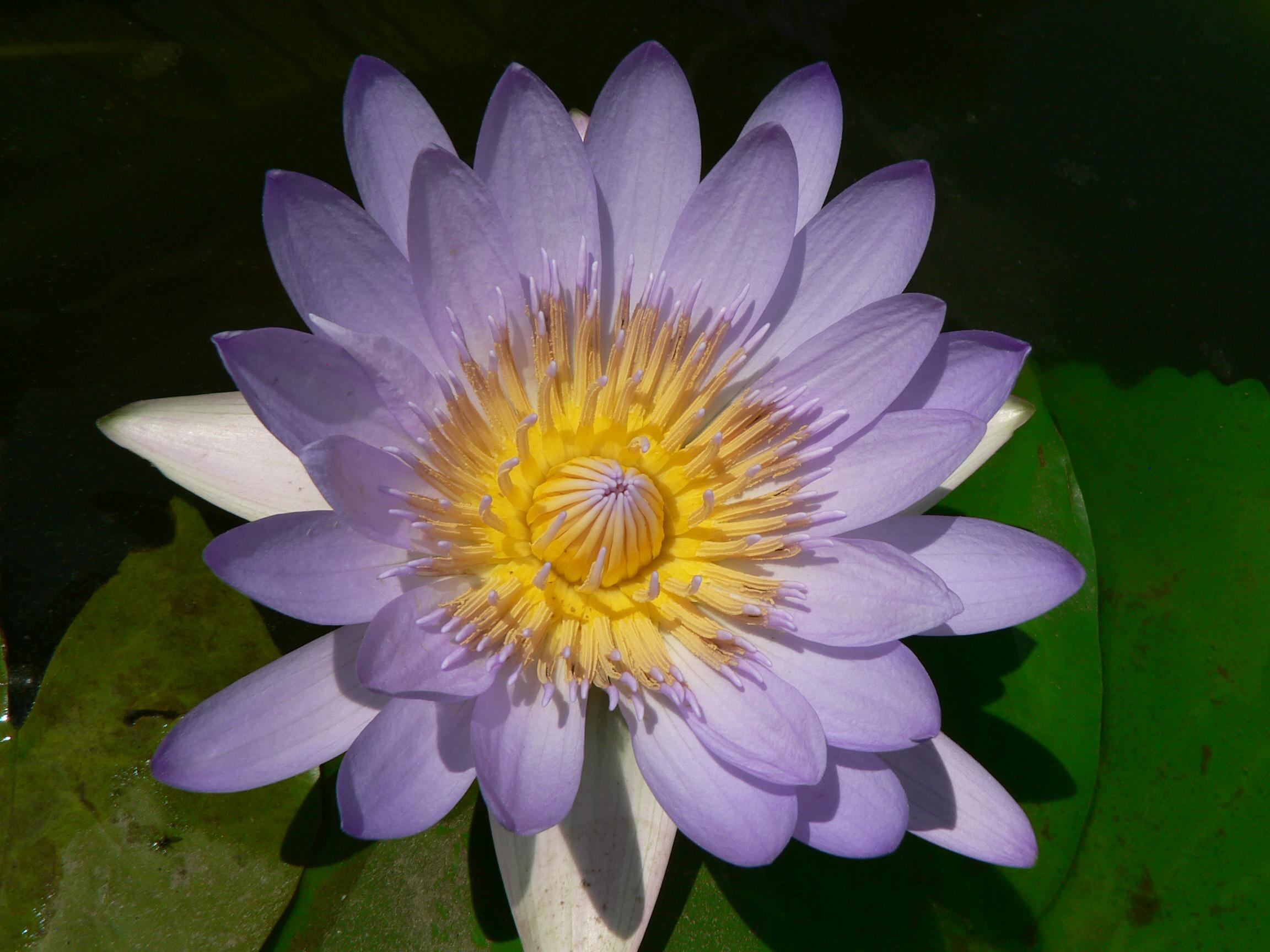blaue Wasserrose