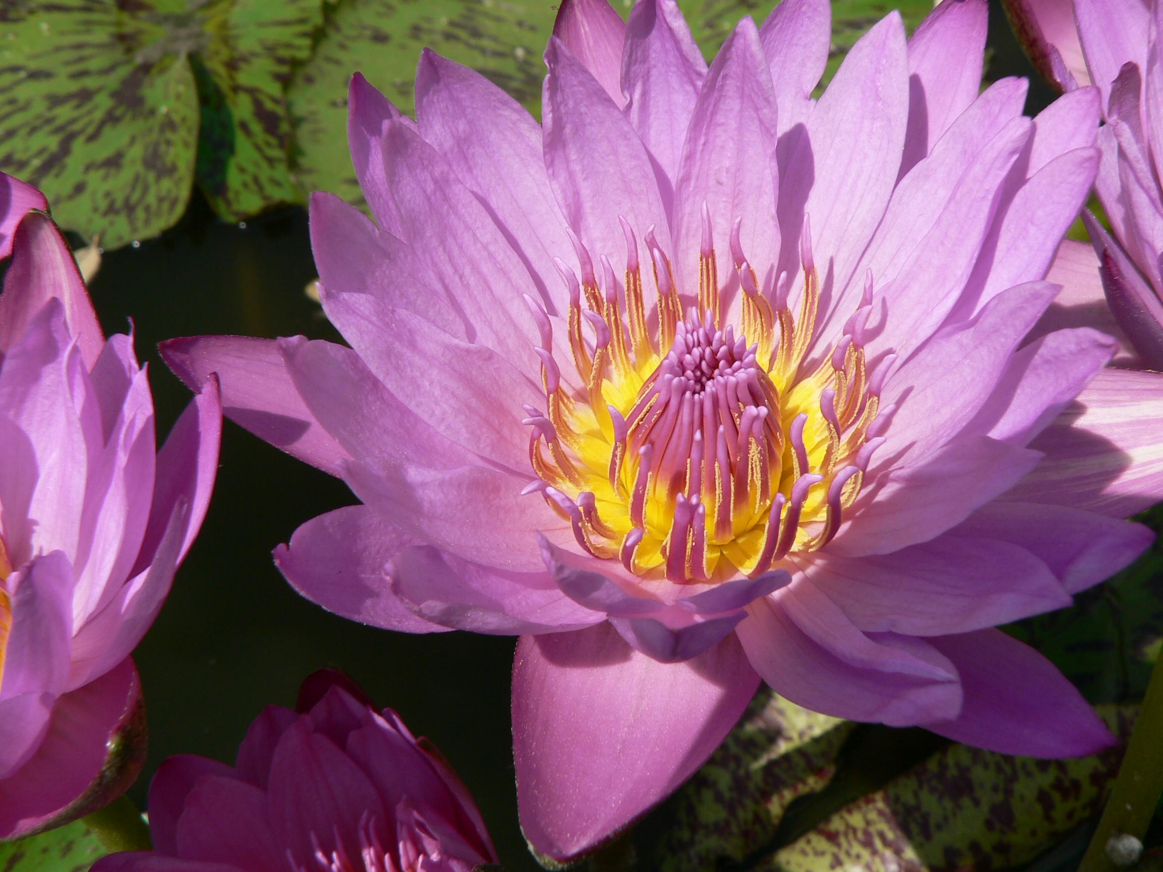 rosa Wasserrose